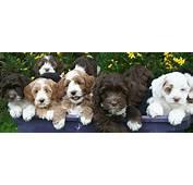 Medium Labradoodle Puppies  Mini