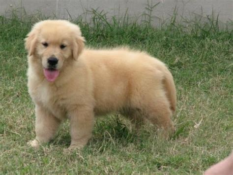 golden retriever venda golden retriever lindos filhotes artigos compra venda breeds picture