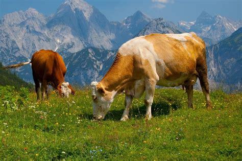 imagenes con movimiento vacas caracter 237 sticas de la vaca