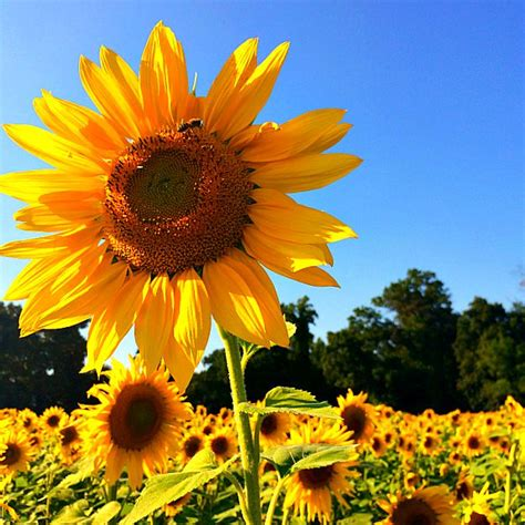 sunflower fields clear meadow farms sunflower fields and the end of summer