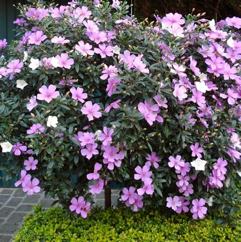 small shrubs with flowers tibouchina