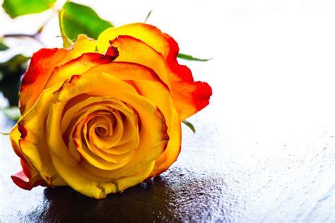 Fleur De L Amitié by Fleurs Et Amiti 233 Signification Des Fleurs