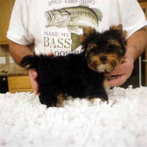 teacup yorkie grown 33 best teacup yorkies images on breeders yorkie puppy and yorkies
