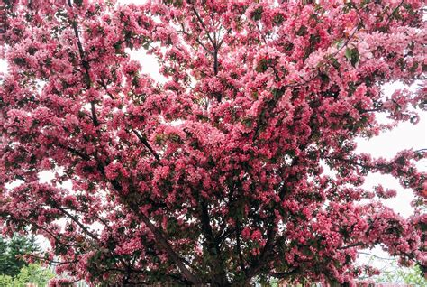 plant an ornamental cherry tree now and look forward to