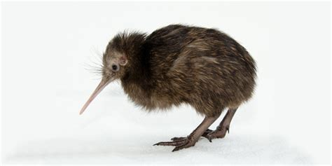 imagenes de animal kiwi le kiwi austral description lieu de vie alimentation