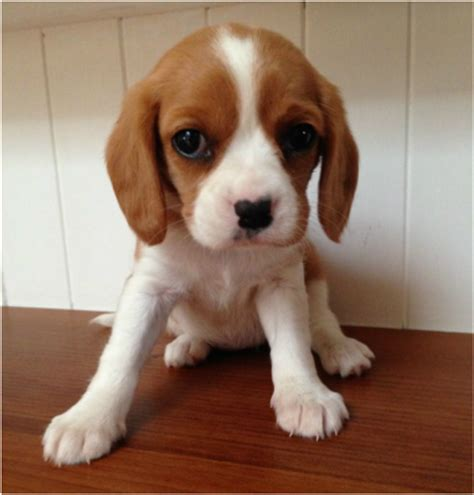 cavador puppies for sale beaglier cottage canines australia