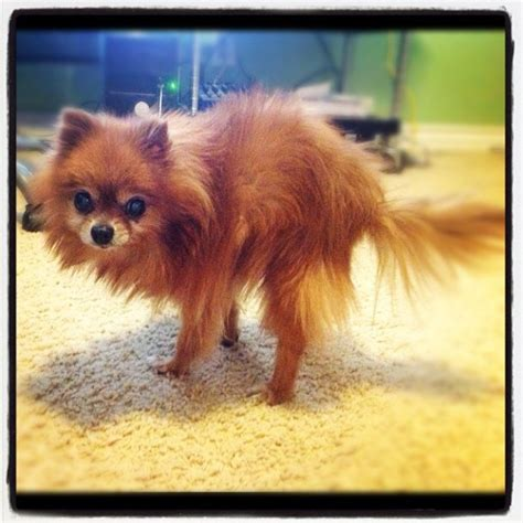how to house a pomeranian pomeranian crate breeds picture