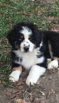 australian shepherd puppies for sale in tn best 25 puppies for sale ideas on baby huskies for sale huskies for sale