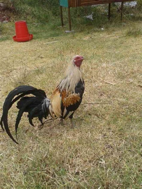 gallo s jerezanos espanoles de venta gallos de pelea venta de sementales en tr 237 os y lotes