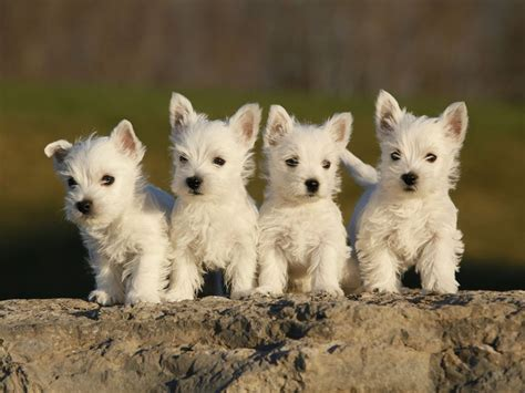 puppies terrier west highland white terrier puppies