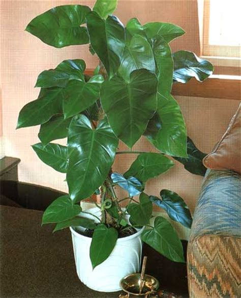 philodendron domesticum elephant ear philodendron