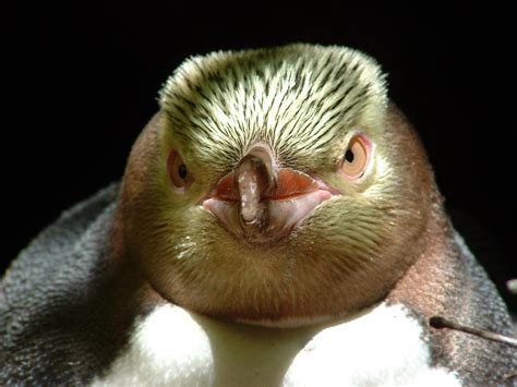 Yellow-eyed penguin | New Zealand Birds Online