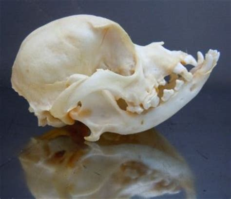 shih tzu skull 118 best images about bones on american the skulls and america