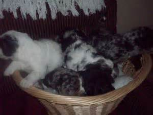 catahoula puppies for sale california catahoula leopard puppies in california