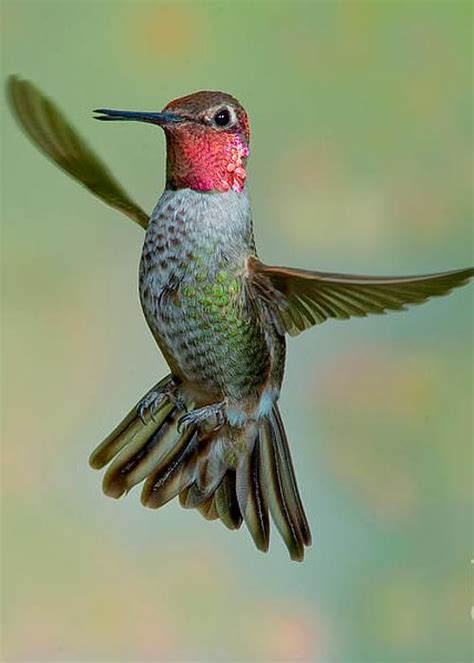 hummingbird colors best 25 hummingbird photos ideas on