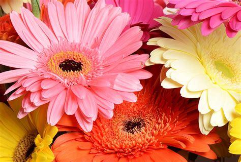 imagenes de gerberas blancas gerberas las margaritas del quot flower power quot flores castillon