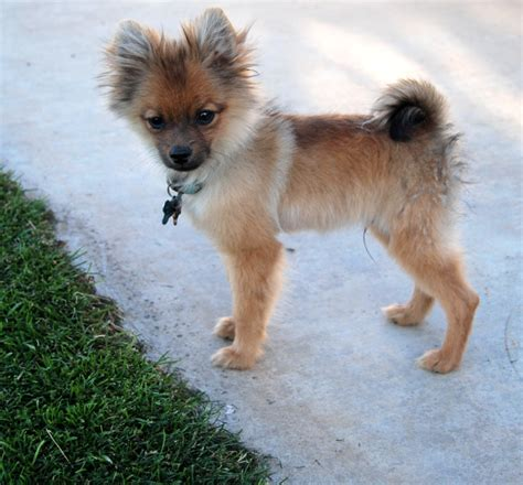 pomeranian puppy uglies pomeranian coat stages breeds picture