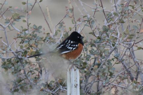 wild birds images spotted towhee hd wallpaper