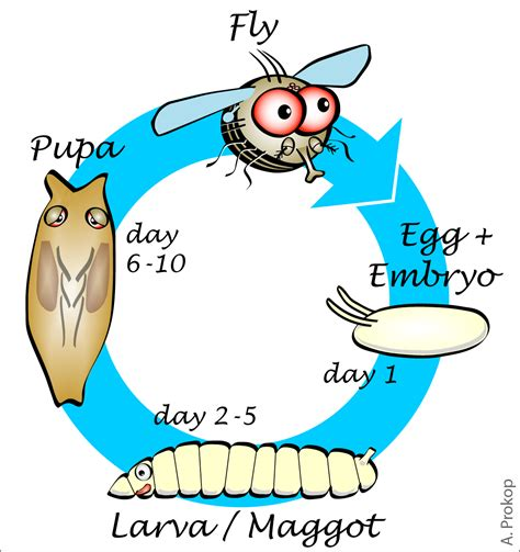fruit fly cycle bringing into biology lessons using the fruit fly