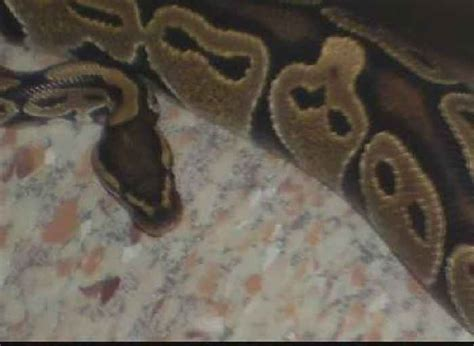 woman finds python in bathroom pennsylvania woman finds python in her bathroom one news