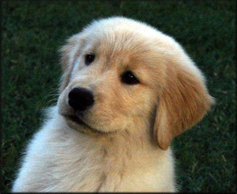 potty golden retriever puppy golden retriever potty golden retriever puppy breeds picture