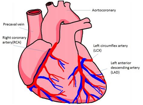 diagram of coronary arteries 16 best conduction system of the images on