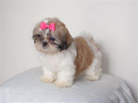 fotos de perros shih tzu cachorros top pin cachorros shih tzu wallpapers