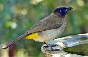 How To Keep Birds Patio by Favourite Garden Birds To Cherish Capped Bulbul Aka