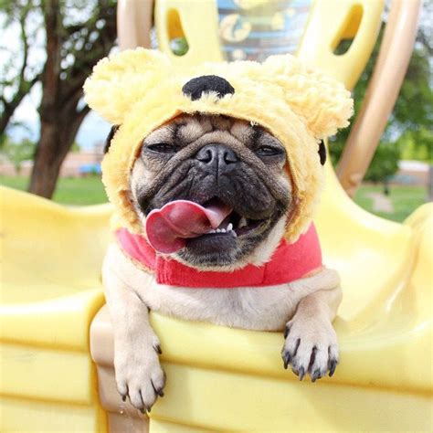 doug the pug 17 best images about doug the pug on cheese