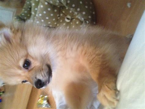 pomeranian puppy food pomeranian puppy with all toys food bed more crawley west sussex pets4homes