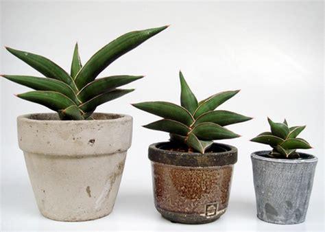Tanaman Sansevieria Samurai tanaman sansevieria samurai bibitbunga