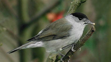 wild blackcaps ambelopoulia carry blood parasites lice