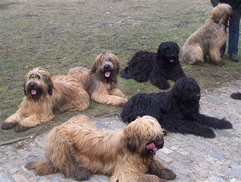 briard dogs briard on brie photos and herding dogs