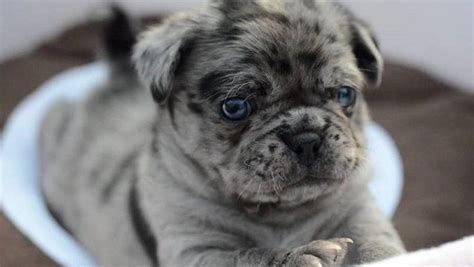 hybrid pug 19 strangely hybrid pug breeds you never knew existed