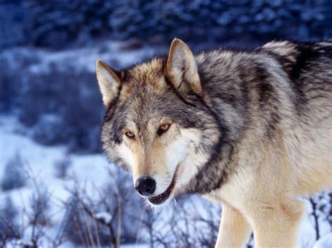 wolf s photography nature world people beauty beautiful wolf