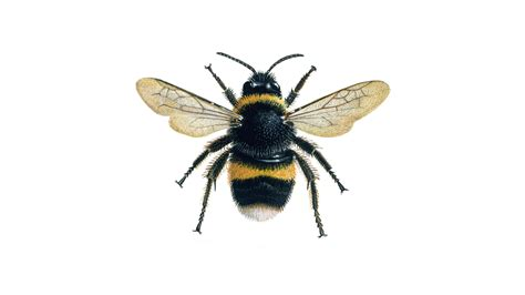 bumblebee facts about bees the rspb