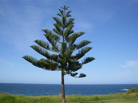 norfolk island pine norfolk island pine araucaria heterop flickr