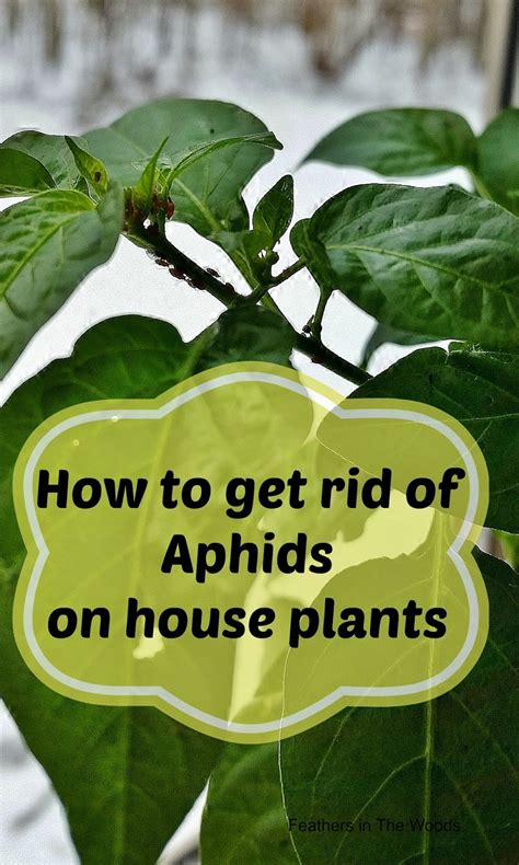 how to get rid of ladybugs inside my house feathers in the woods can i get a ladybug what to do about aphids on houseplants