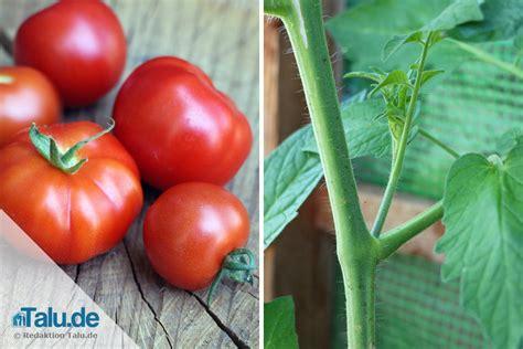 Tomaten Ausgeizen Anleitung 5184 by Tomaten Ausgeizen Anleitung F 252 R Alle Tomatensorten Talu De