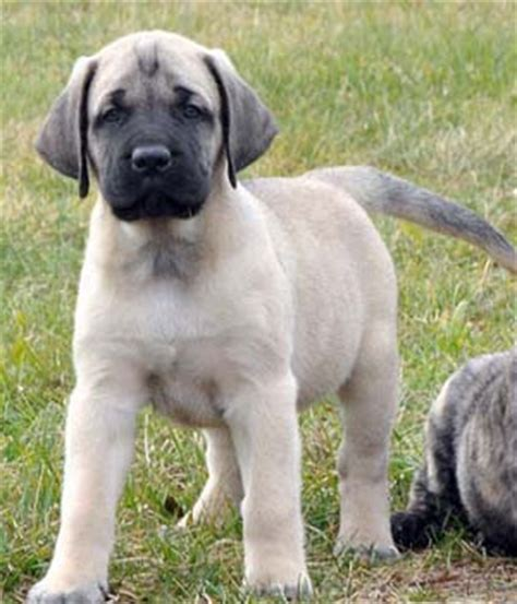 american mastiff puppies american mastiff breed