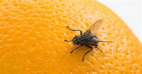 how to kill fruit flies in house how to get rid of fruit flies in your house quickly naturally