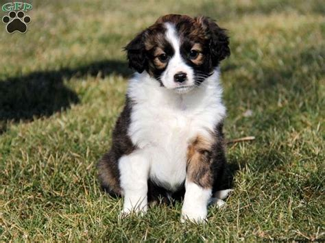 miniature collie miniature border collie puppies for sale zoe fans baby animals