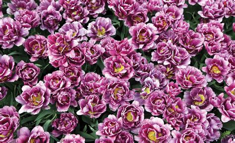 poster fiori carta da parati fioritura fiori viola europosters it