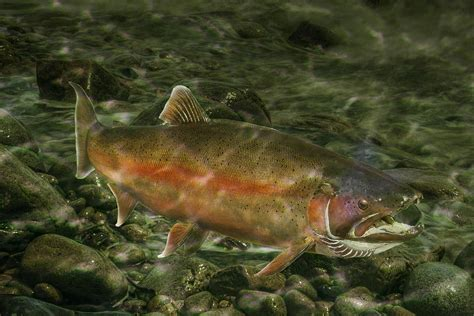 Fish Duvet Cover Steelhead Trout Spawning Photograph By Randall Nyhof
