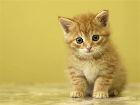 wallpaper anak kucing imut 20 gambar kucing dan anak kucing lucu muslim net since