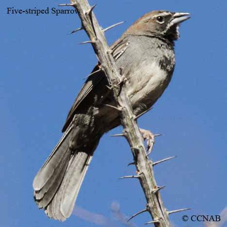 America Also Search For Sparrows American Birds Birds Of America