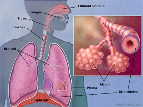 lungs definition location anatomy function diagram the lungs human anatomy picture function definition