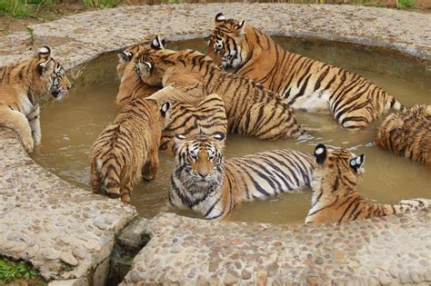tiger bathroom designs tiger bath tierbilder animal pictures pinterest