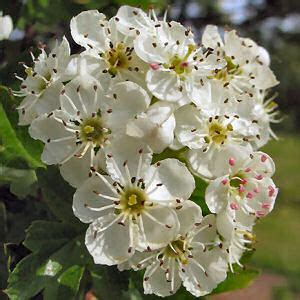 irish myths and legends – the hawthorn tree | diary of an