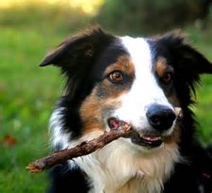 Border collies favourite things tricolor border border collie